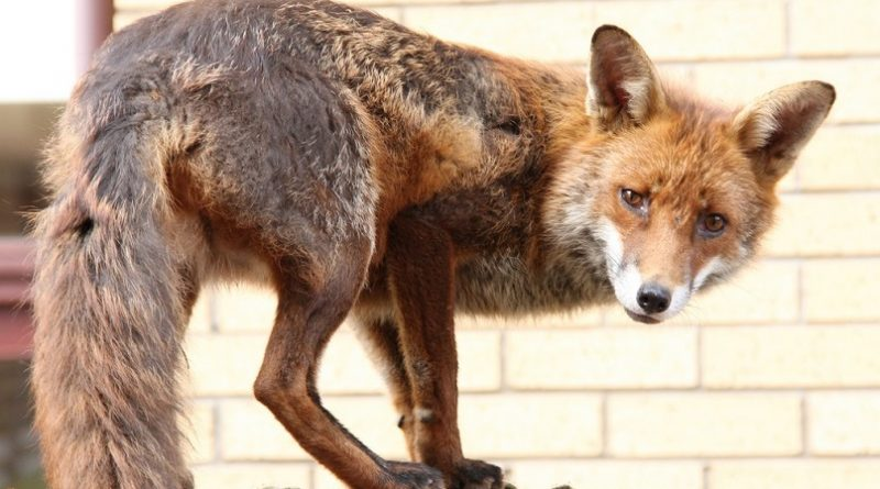 The Croydon Cat Killer is actually a bunch of cunning foxes, the police say after examining 25 mutilated cats