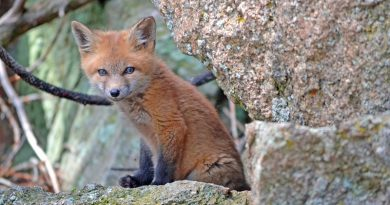 Baby fox rescued from cavity wall in Queensway Market