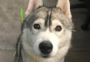 Kinky the Siberian Husky reunited with owner after being found on Nunhead railway tracks